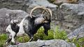 Feral Goat Glendalough.jpg