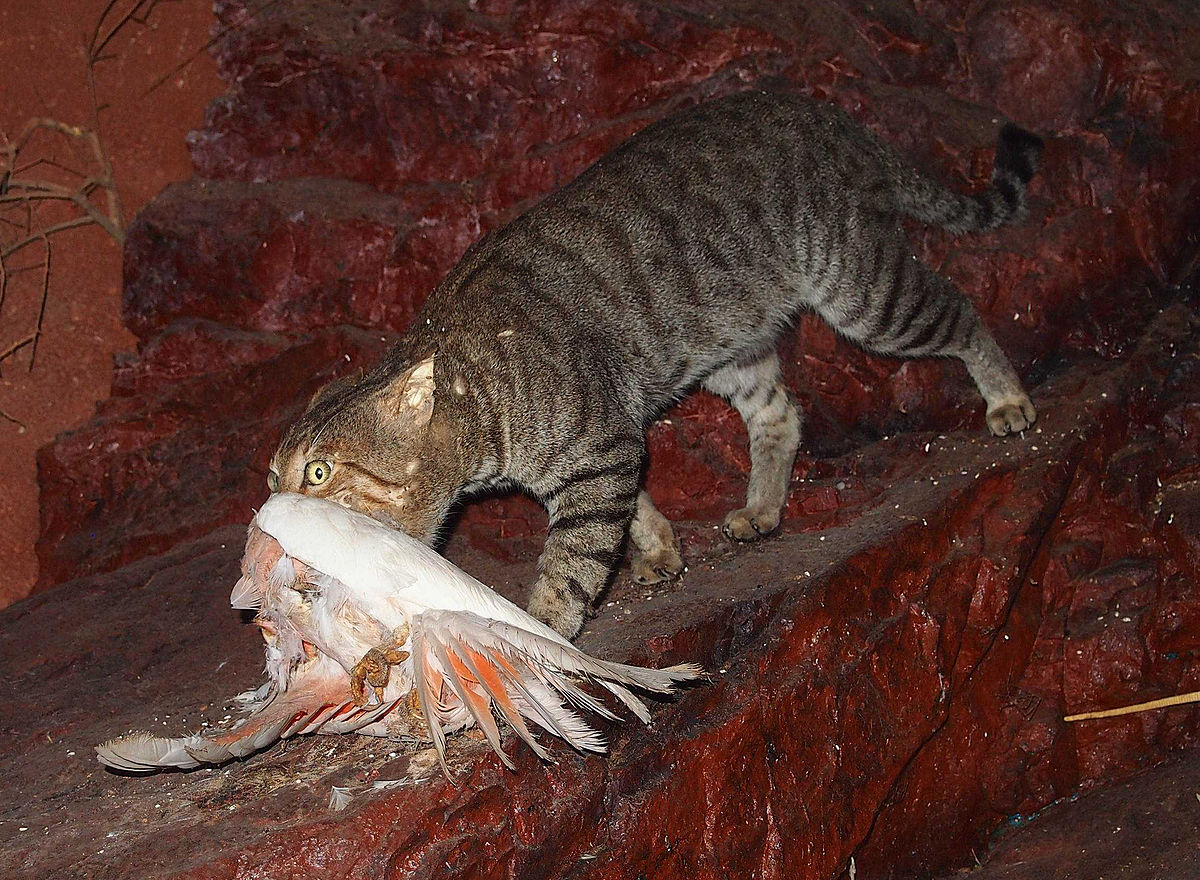 Species Of Native Cats Intruduced To Australia