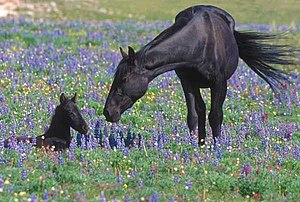Wild and Free-Roaming Horses and Burros Act of 1971 - A mare attends to her foal on the Pryor Mountains Wild Horse Refuge.