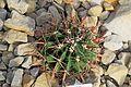 Ferocactus townsendianus in Tropengewächshäuser des Botanischen Gartens.jpg