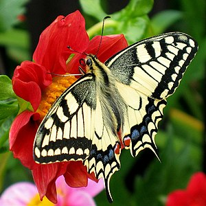 Butterfly - Papilio machaon