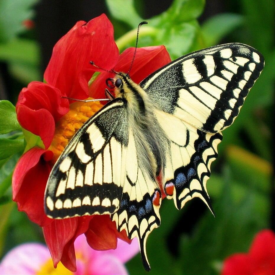 Fesoj - Papilio machaon (by)