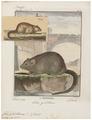 Fiber zibethicus - 1700-1880 - Print - Iconographia Zoologica - Special Collections University of Amsterdam - UBA01 IZ20500153.tif