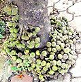 Ficus fig-fruit-on-trunk.jpg