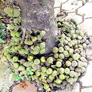 Ficus racemosa - Clusters of gular figs on a tree trunk in India