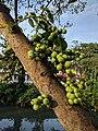 Ficus racemosa 011.jpg