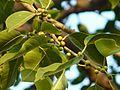 Ficus virens ? (3188508584).jpg