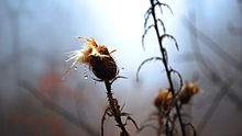 A photo of a field thistle (Cirsium discolor) in autumn .