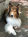 Fiona the Sheltie.jpg