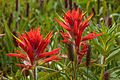 First day of the summer in the Alpine flowers of Sun Peaks...Common Red Paintbrush (Castilleja miniata)...usually red, sometimes pink or white even... (28295531985).jpg