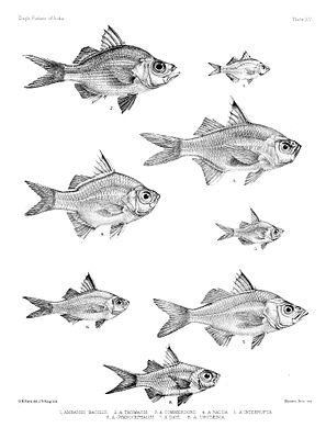 "Verschiedene Glasbarscharten in einer Illustration aus ""The fishes of India; being a natural history of the fishes known to inhabit the seas and fresh waters of India, Burma, and Ceylon."" des britischen Ichthyologen Francis Day (1829–1889)."