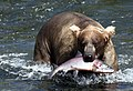 Fishing bear - panoramio.jpg