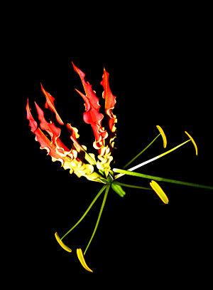 Gloriosa superba - Image: Flame lily (Gloriosa superba)