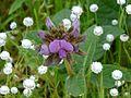 Flemingia nilgheriensis (Baker) T.Cooke (2899437140).jpg