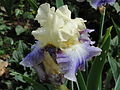 Fleur d'iris.JPG