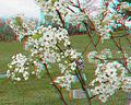 Flickr - jimf0390 - JimF 04-19-10-0015a tree blossoms.jpg