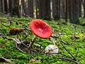 Fliegenpilz (Amanita muscaria) -20191101-RM-150114.jpg
