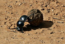 Flightless Dung Beetle Circellium Bachuss, Addo Elephant National Park, South Africa.JPG