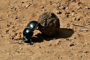 Ecological niche - The flightless dung beetle occupies an ecological niche exploiting animal droppings as a food source.