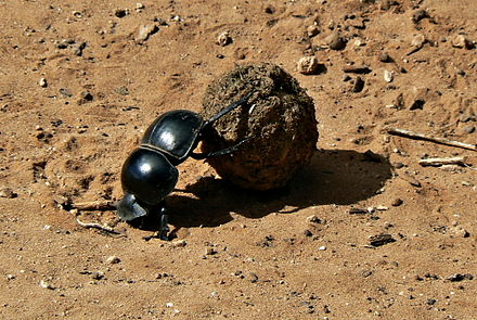 The flightless dung beetle occupies an ecological niche, exploiting animal droppings as a food source. Flightless Dung Beetle Circellium Bachuss, Addo Elephant National Park, South Africa.JPG