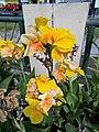 Flors grogues del parque de las Musas de Chiclayo.jpg