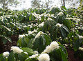 Flower coffee robusta in the highlands.jpg