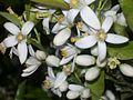 Flower fleur زهرة.JPG