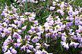 Flower lilac (1408207376).jpg