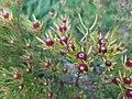 Flowers at Kirstenbosch botanical garden, Cape Town 08.jpg