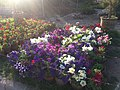 Flowers at Nursery - panoramio.jpg