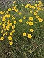Flowers of Coreopsis lanceolata 20180517.jpg