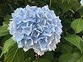 Flowers of Hydrangea macrophylla 20200607.jpg