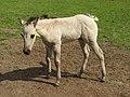 Foal (18404908841).jpg