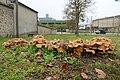 Fontainebleau champignons Fungi novembre 2020 07.jpg