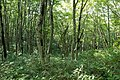 Forest in Mt.Bandai 10.jpg