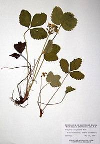 Fragaria virginiana ssp. virginiana BW-1979-0522-0603.jpg