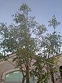 Fraxinus excelsior by Prahlad balaji 1.jpg