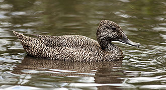 Freckled duck - Female