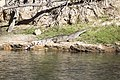 Fresh water crocodile 1 (14621246140).jpg