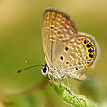 Freyeria putli formosanus 20141011.jpg