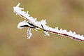 Frosty Branch (3237999839).jpg