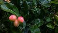 Fruit KaroNTa 11062011339.JPG