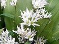 GOC St Paul's Walden 015 Ramsons (Allium ursinum) (8736864821).jpg