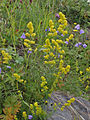 Galium verum Kemi, Finland 15.07.2013.jpg