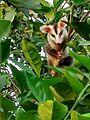 Gambá-de-Orelha-Branca (Didelphis albiventris) 02.jpg