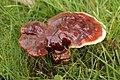 Ganoderma lucidum 48805909.jpg