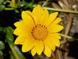 definition of gazania