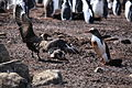 Gentoo Penguin rescues its Chick from a Brown Skua (5751777568).jpg