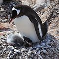 Gentoo Penguin with chicks (6123850974).jpg