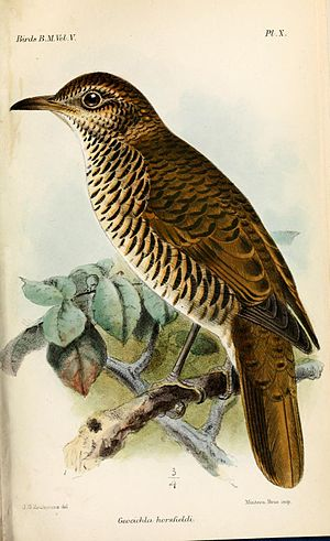 Scaly thrush - Subspecies Z. d. horsfieldi, Horsfield's thrush; illustration by Keulemans, 1881.